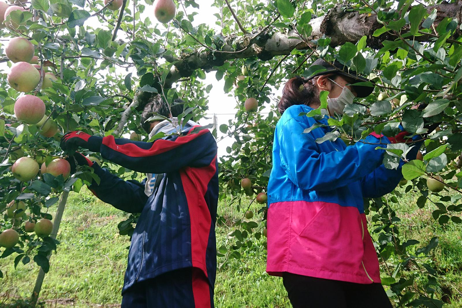 りんご農家を訪問しりんごの摘葉・収穫等を行う