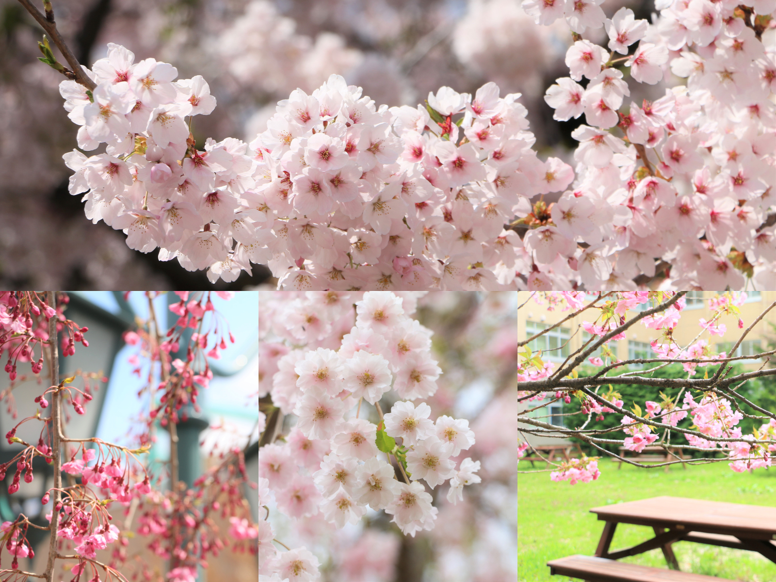 4種類の桜の写真
