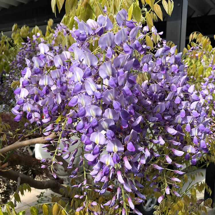 学長の自宅の庭に咲くフジの花