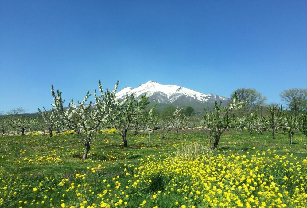 りんご畑から見える岩木山